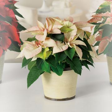 Cream Poinsettia